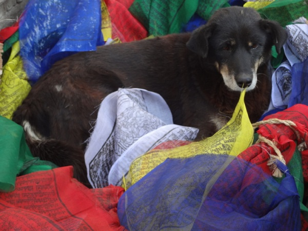 Nepal: Dog chillin in some prayer flags, yo